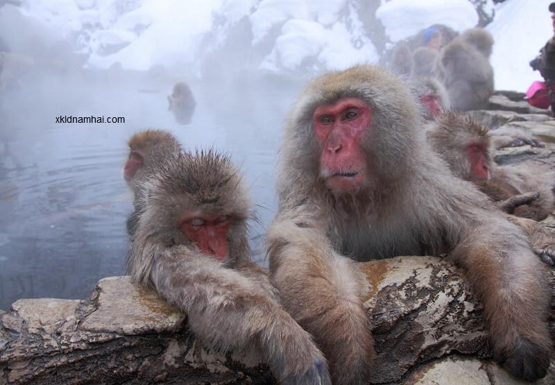 Những chú khí tắm suối nước nóng tỉnh Nagano