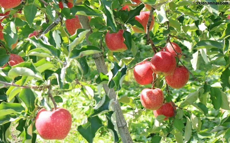 vườn táo tỉnh Nagano