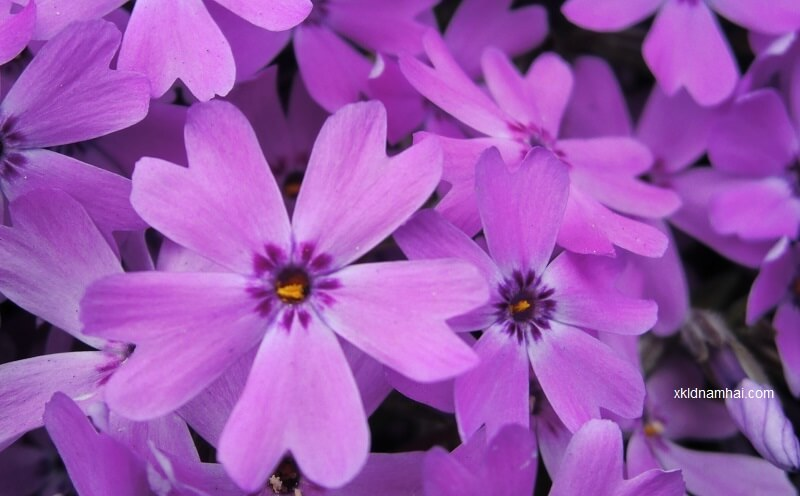 hoa shibazakura