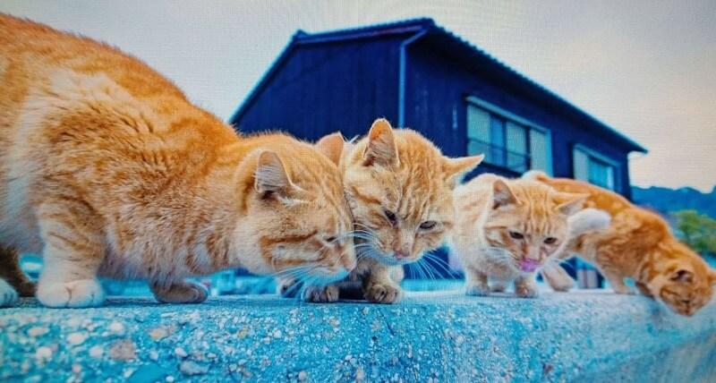 Đảo mèo Muzukijima