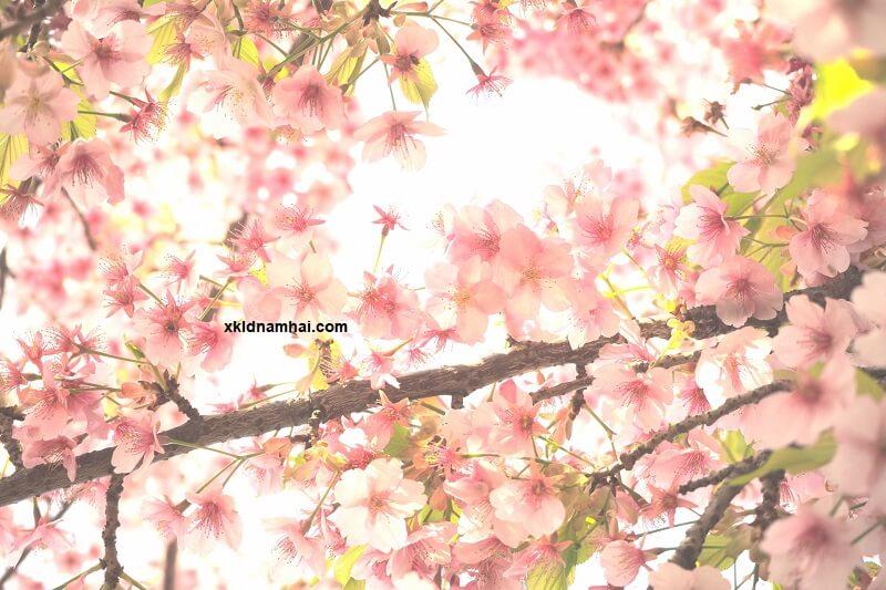 Nếu có cơ hội khám phá Nhật Bản, đừng bỏ lỡ các địa điểm ngắm hoa anh đào tuyệt đẹp này nhé!